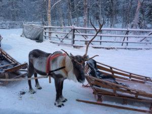 Reindeer Sledge Rides